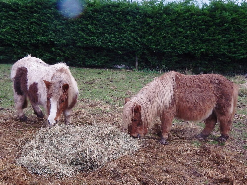 cossie and cammie tucking into some delicious hay