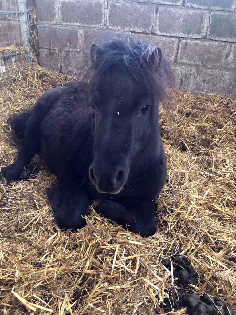 This is Zeus. He is available for rehoming as a companion pony